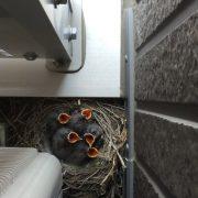 燕の巣作りのタイトル画像