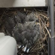 かわいいお客さま「恋教へ鳥」のタイトル画像